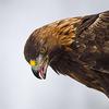 Aquila-Chrysaetos-DW's avatar
