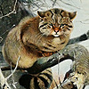 AspieWildcat's avatar