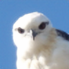 blackshoulderedkite's avatar