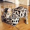 Catz-Bengalz's avatar