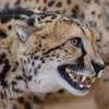 CheetahLoverOfficial's avatar