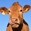 cow-bite's avatar