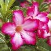 desert-rose666's avatar