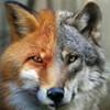 Fox--Wolf's avatar