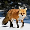 FoxBoiFan's avatar