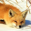 Foxy25thefox's avatar