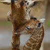 Giraffeafbaby's avatar