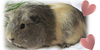 Guinea-piggy-love's avatar