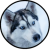 Husky-Man's avatar