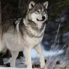 Kamots-Silver-Wolf's avatar