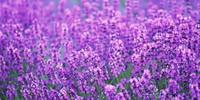 LavenderOasis's avatar