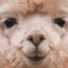 LooneyLlamas's avatar