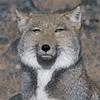 MrTibetanFox's avatar