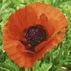 Poppies-CO's avatar