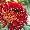redchrysanthemums's avatar