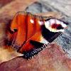rosaarvensis's avatar