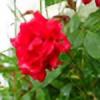 Rose-N-Thorn's avatar