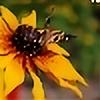 Rudbeckia-bicolor's avatar