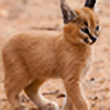 Savannah-the-Caracal's avatar