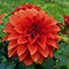 scarlet-dahlia's avatar