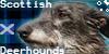 Scottish-Deerhounds