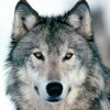The-Fallen-Wolf's avatar