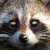 The-Shadow-Raccoon's avatar