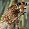 thegoldengiraffe's avatar