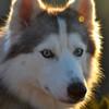 thesiberiansden's avatar