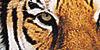 Tigers-FTW