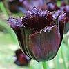 Tulipa10's avatar