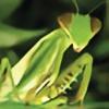 VungTauMantis's avatar