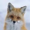 WillowyFox's avatar