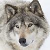 wolfcliff's avatar