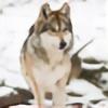 Wolfwings102's avatar