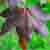 :iconaceraceae: