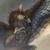:iconamurensis-feather: