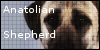 :iconanatolianshepherd: