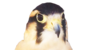 :iconaplomado-falcons: