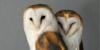 :iconbarn-owls-forever: