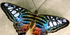 :iconbeauty-lepidoptera: