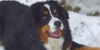 :iconbernese-sheepdog: