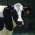 :iconbig-fluffy-cow: