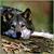 :iconbrionywolf: