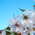:iconcherry-tree-stock: