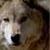 :iconchinookwolf: