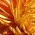 :iconchrysanthemum7: