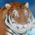 :iconcontentious-tiger: