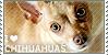 :iconcute-chihuahuas:
