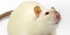 :iconfancy-rats: